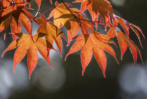 fall, leaves, maple