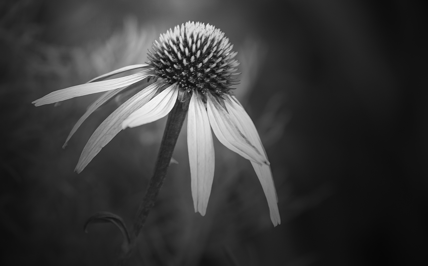 Flowers in black and white annette schreiber fine art photography echinacea2byannetteschreiber mightylinksfo