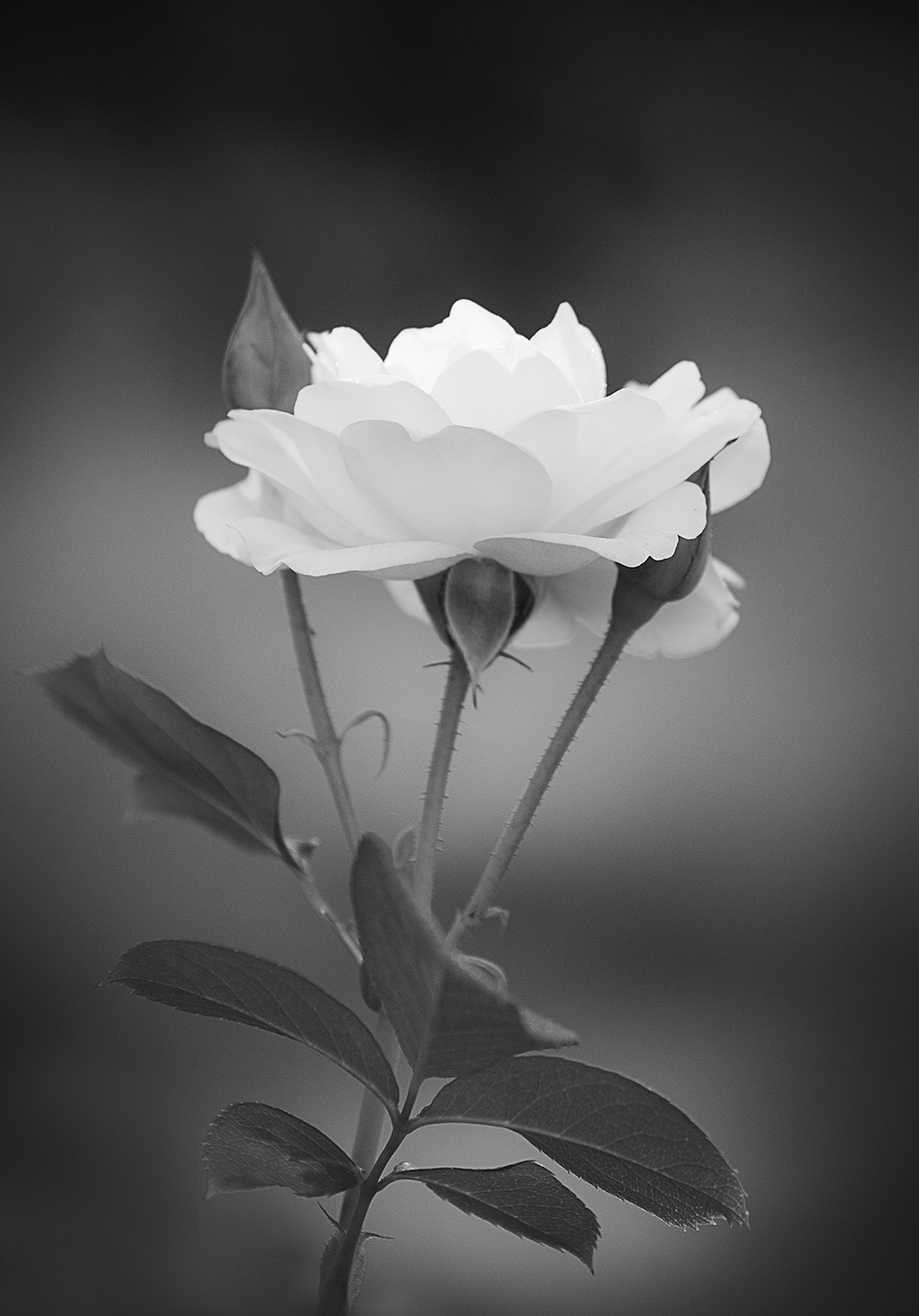 Purity and innocence tulip 4 by annette schreiber black and white